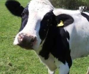 Cow two.jpg